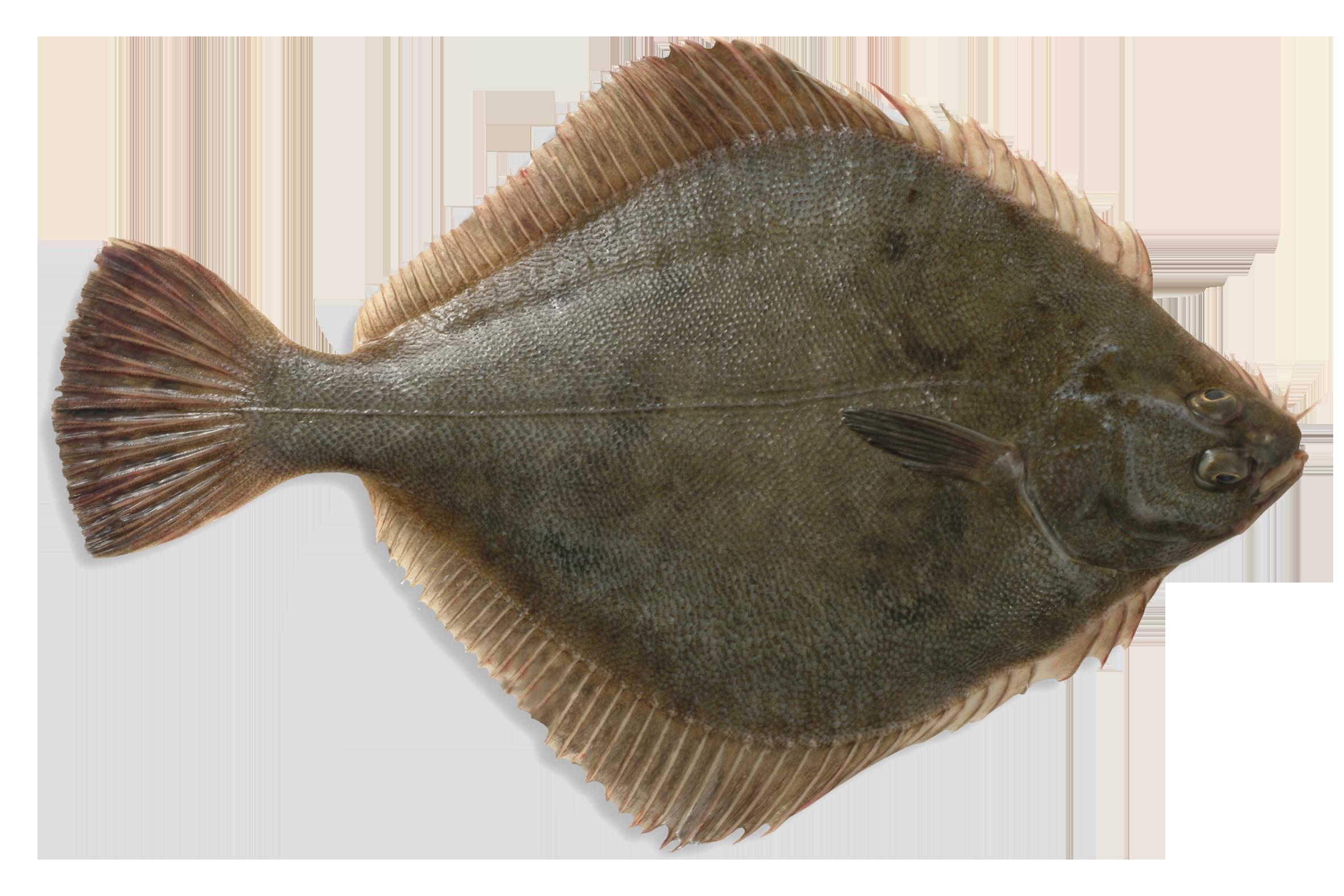 Sand flounder